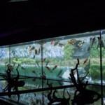映像と金魚のコラボレーション